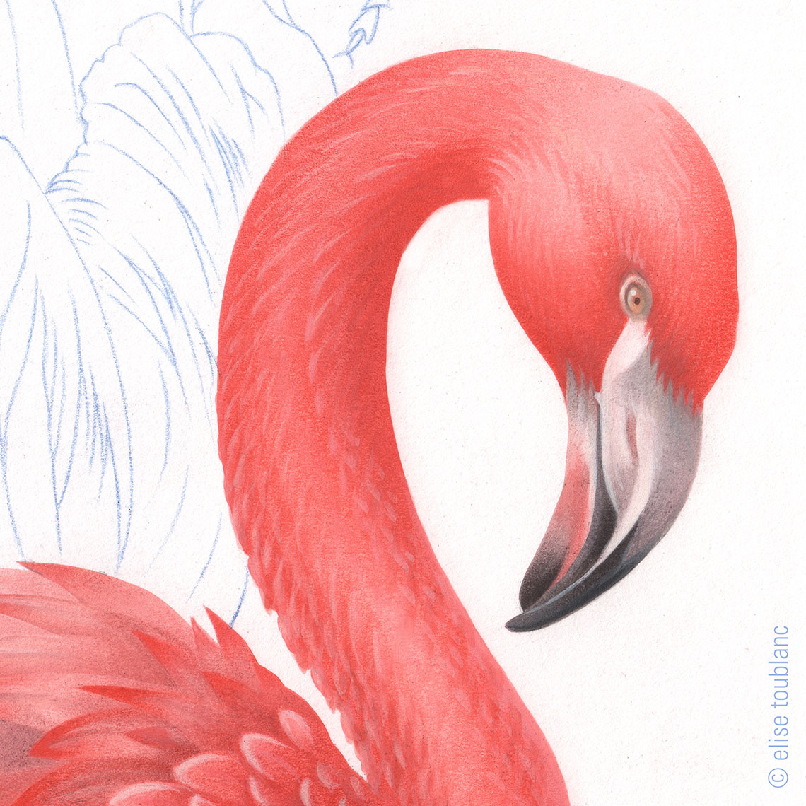 flamant-rose
