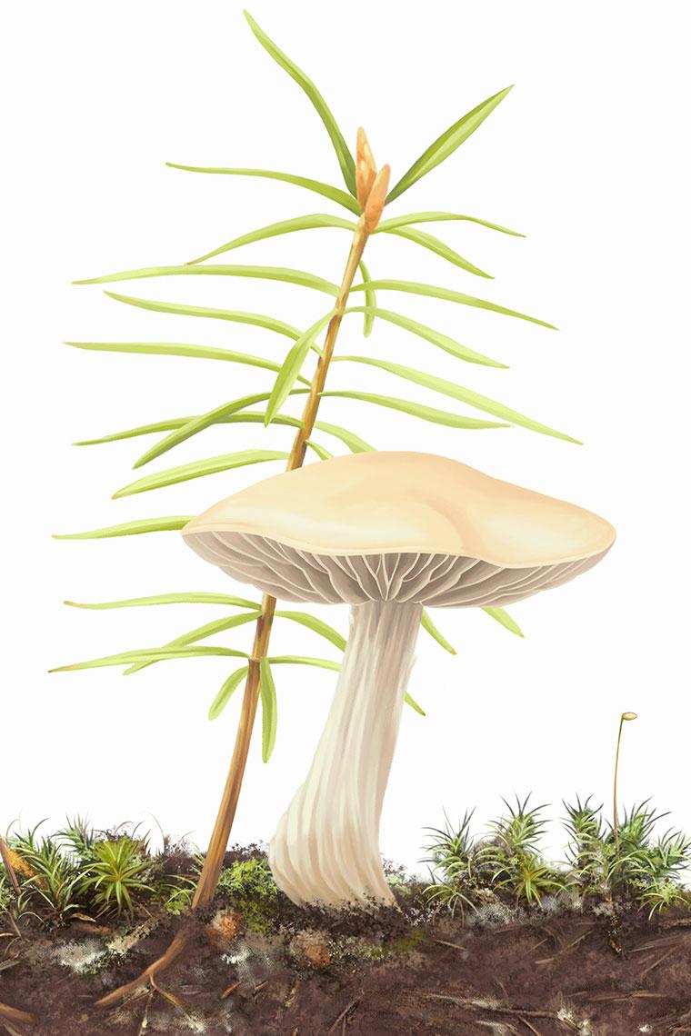 champignon-mycorhize